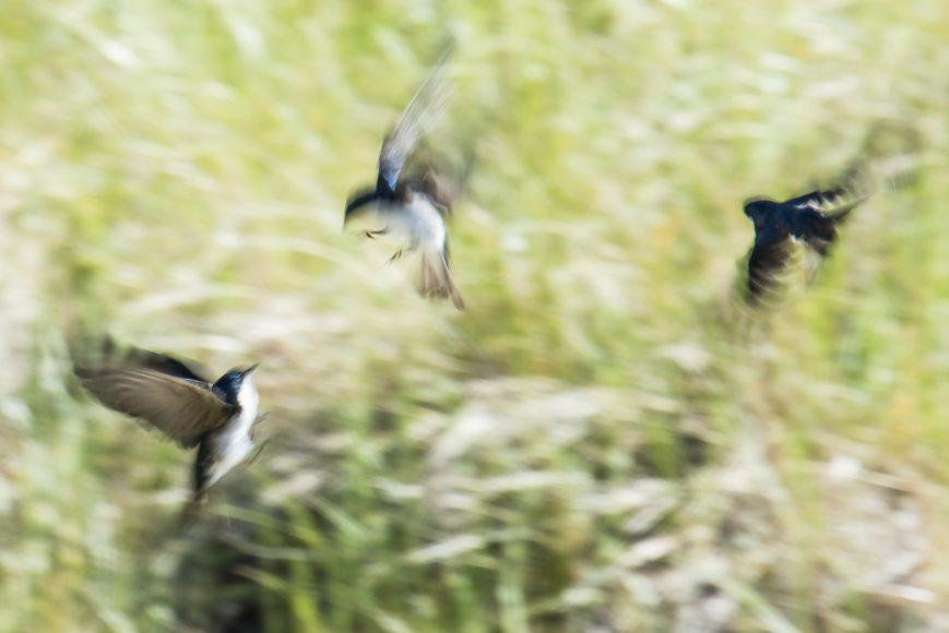 Tree Swallows at Boris's